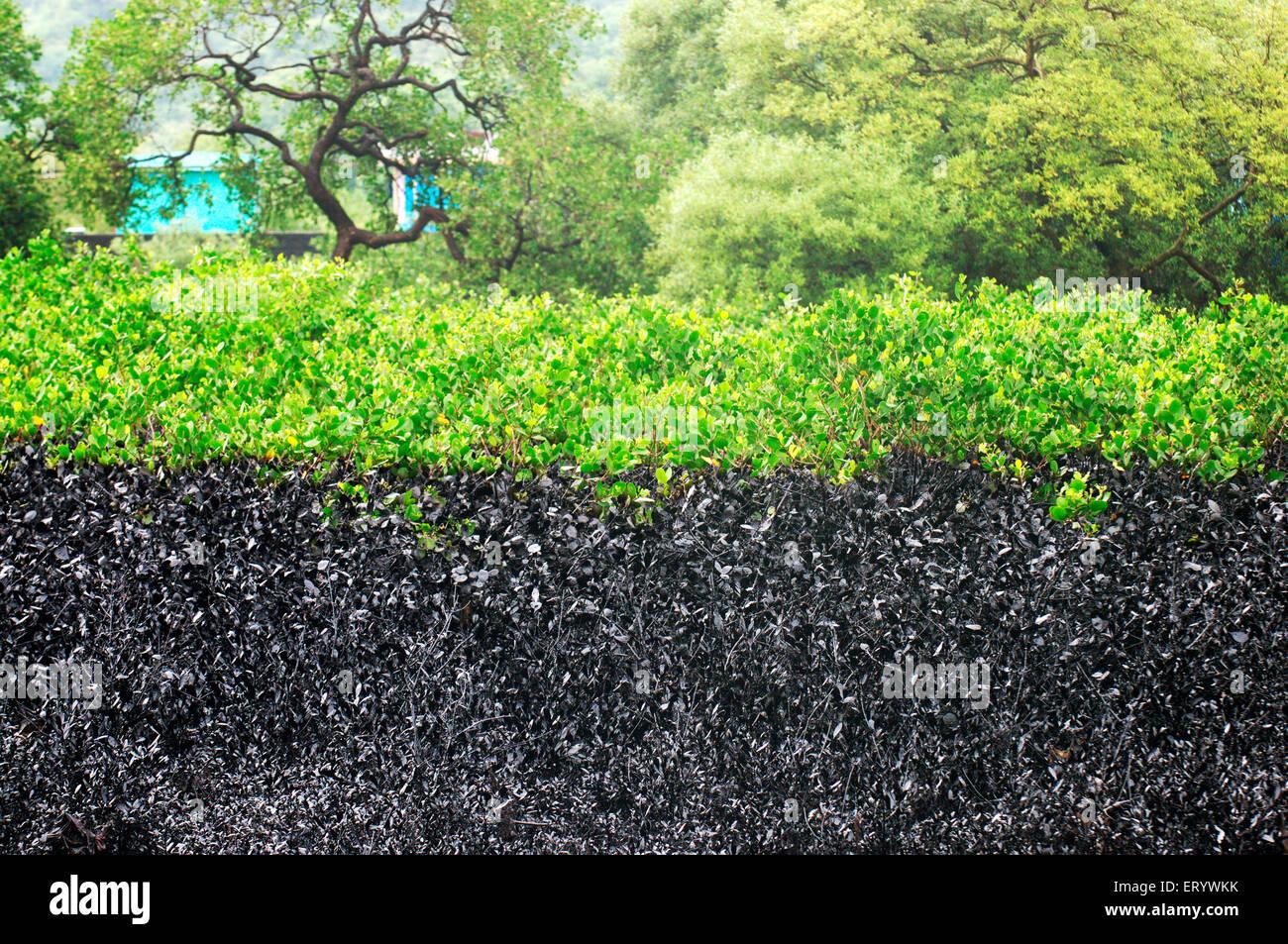 Los manglares afectadas por el derrame de petróleo en la Isla de Elefanta ; ; ; Maharashtra Bombay Bombay India Imagen De Stock