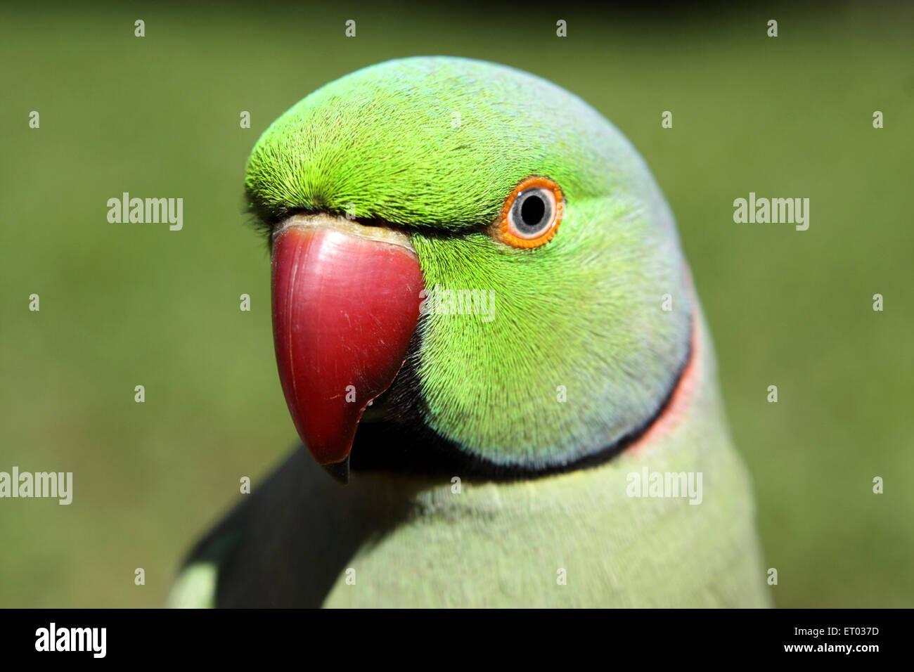 Rose anillado de aves periquito Psittacula krameri Nadiad ; ; ; Gujarat India Imagen De Stock