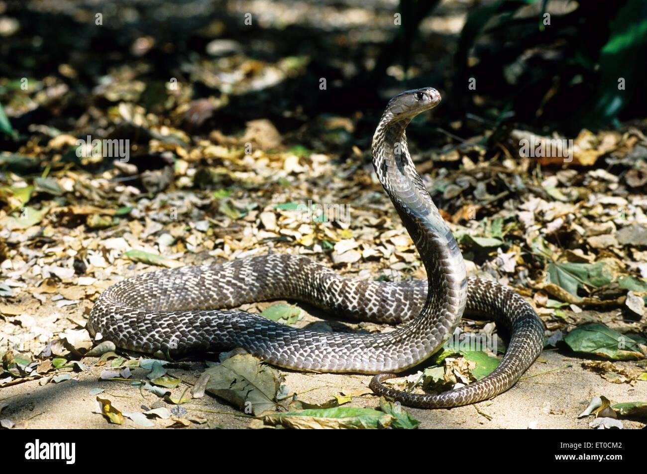 La serpiente India de cobra espectáculo Naja naja naja Foto de stock