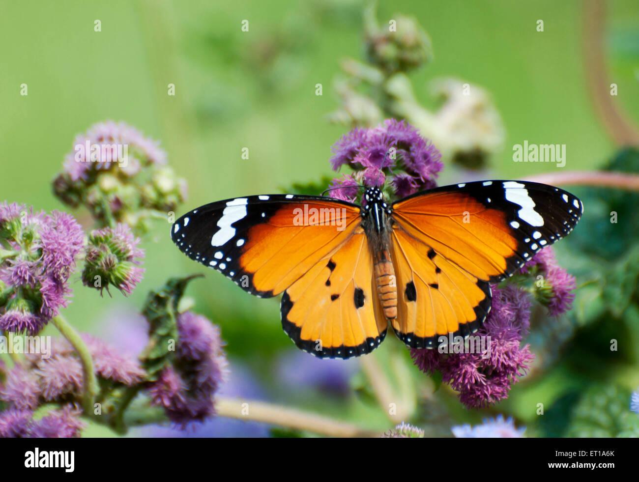 Jardín Botánico de Mariposas Danaus Chrysippus Howrah West Bengal India Asia Foto de stock