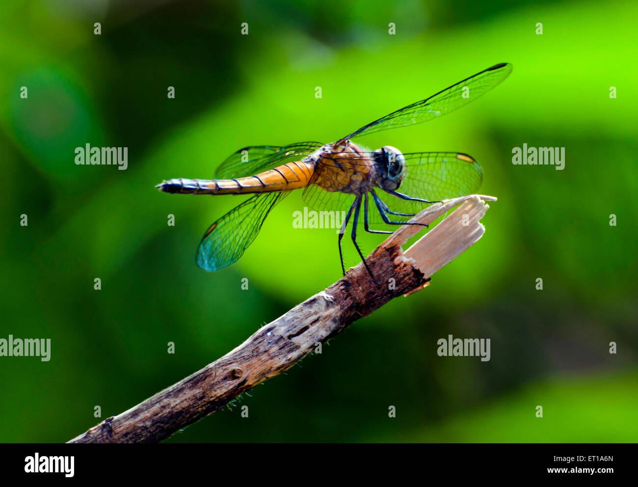 Dragonfly Jardín Botánico Howrah West Bengal India Asia Foto de stock