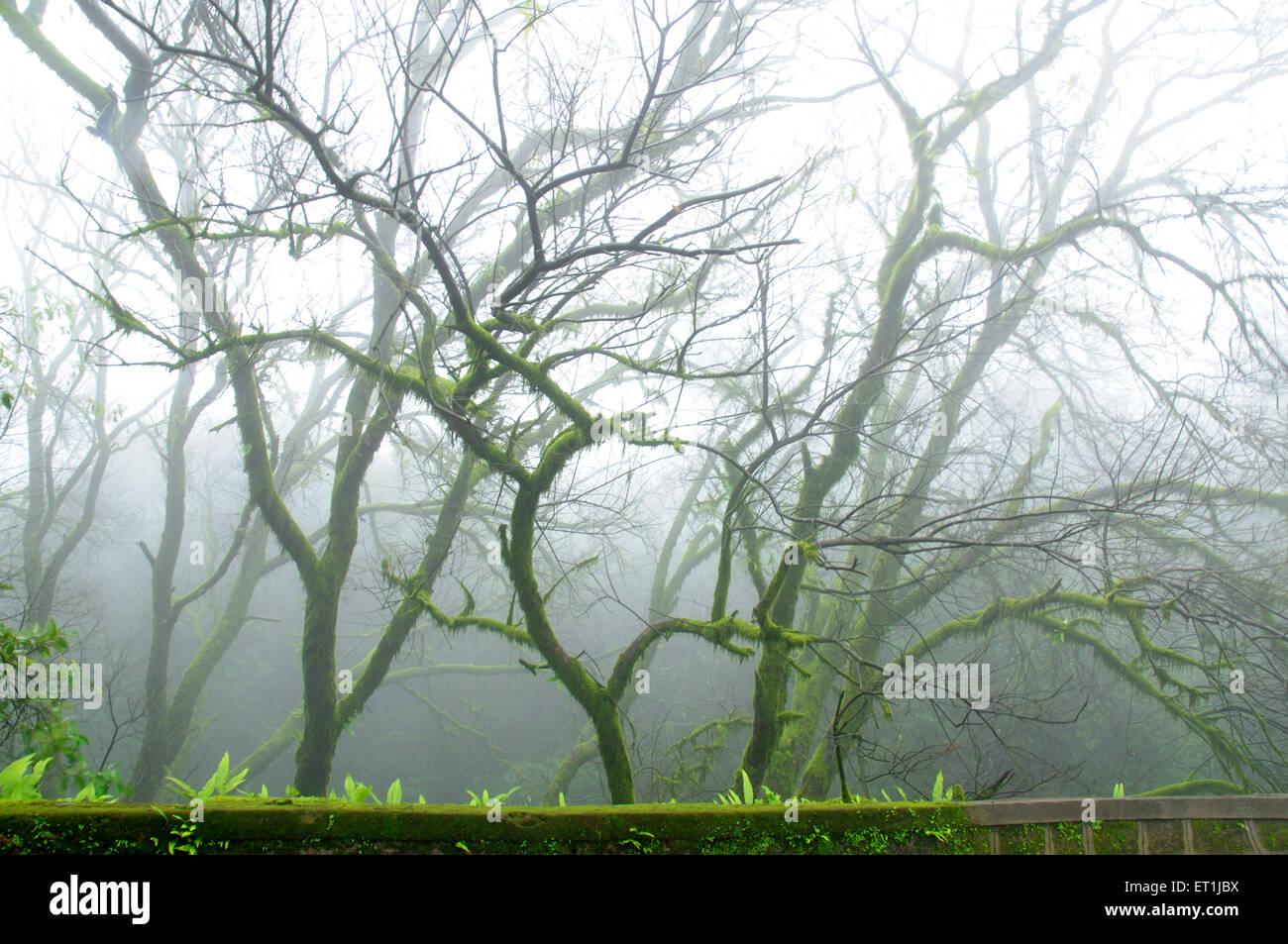 Neblinosa atmósfera de monzón en medio de árboles cubiertos de musgo Mahabaleshwar ; ; ; Maharashtra Imagen De Stock