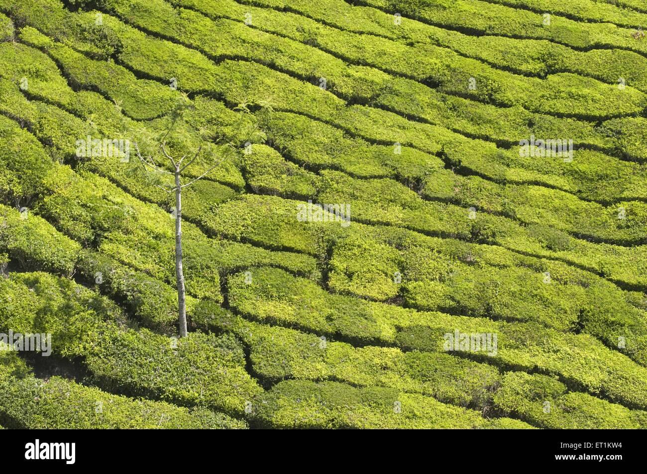 Las plantaciones de té de Munnar Kerala India Asia Imagen De Stock