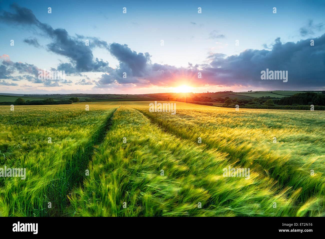 Puesta de sol sobre la tierra agrícola con cebada soplando en el viento Imagen De Stock