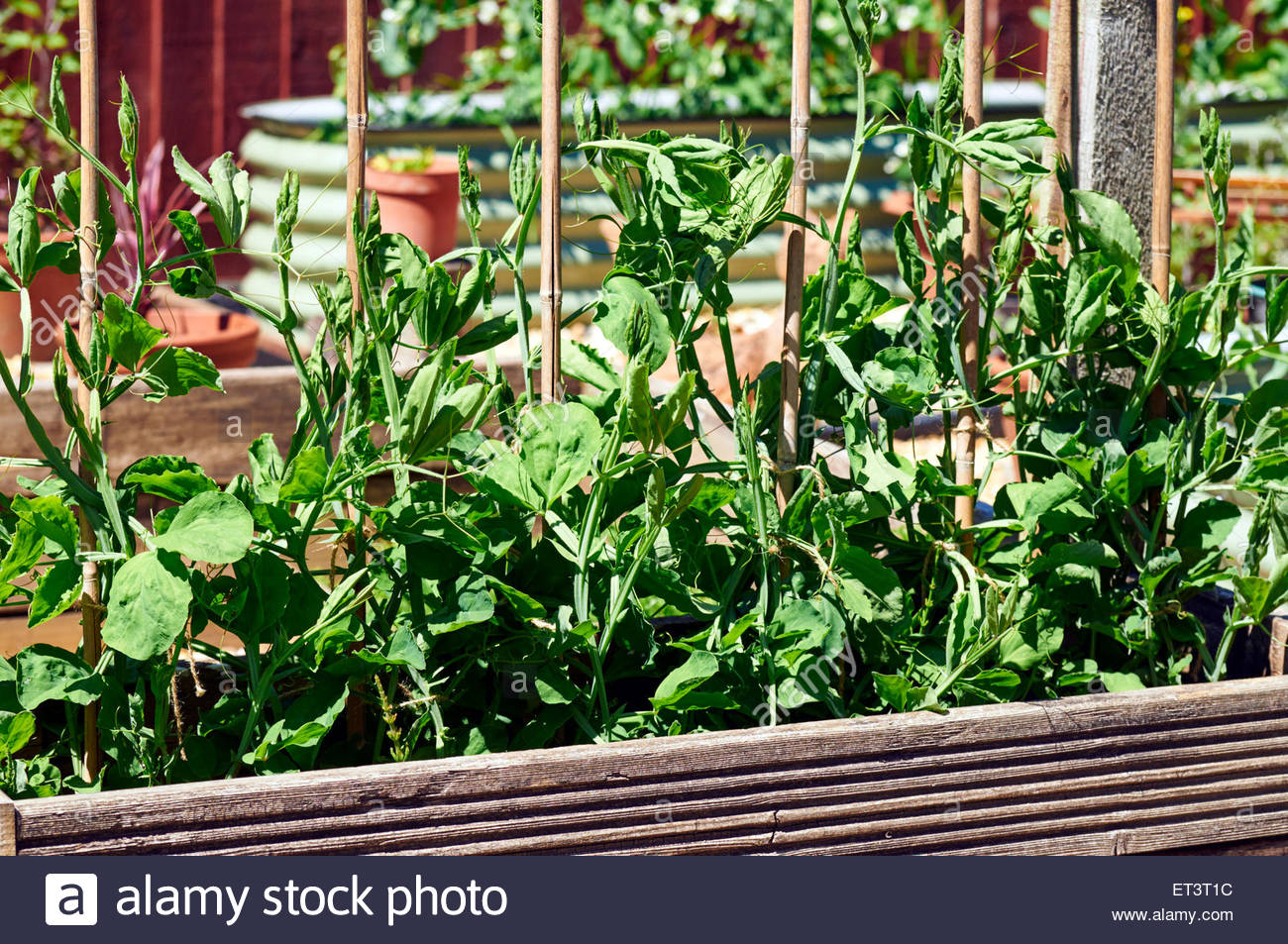 Pea Sticks Imágenes De Stock & Pea Sticks Fotos De Stock - Alamy