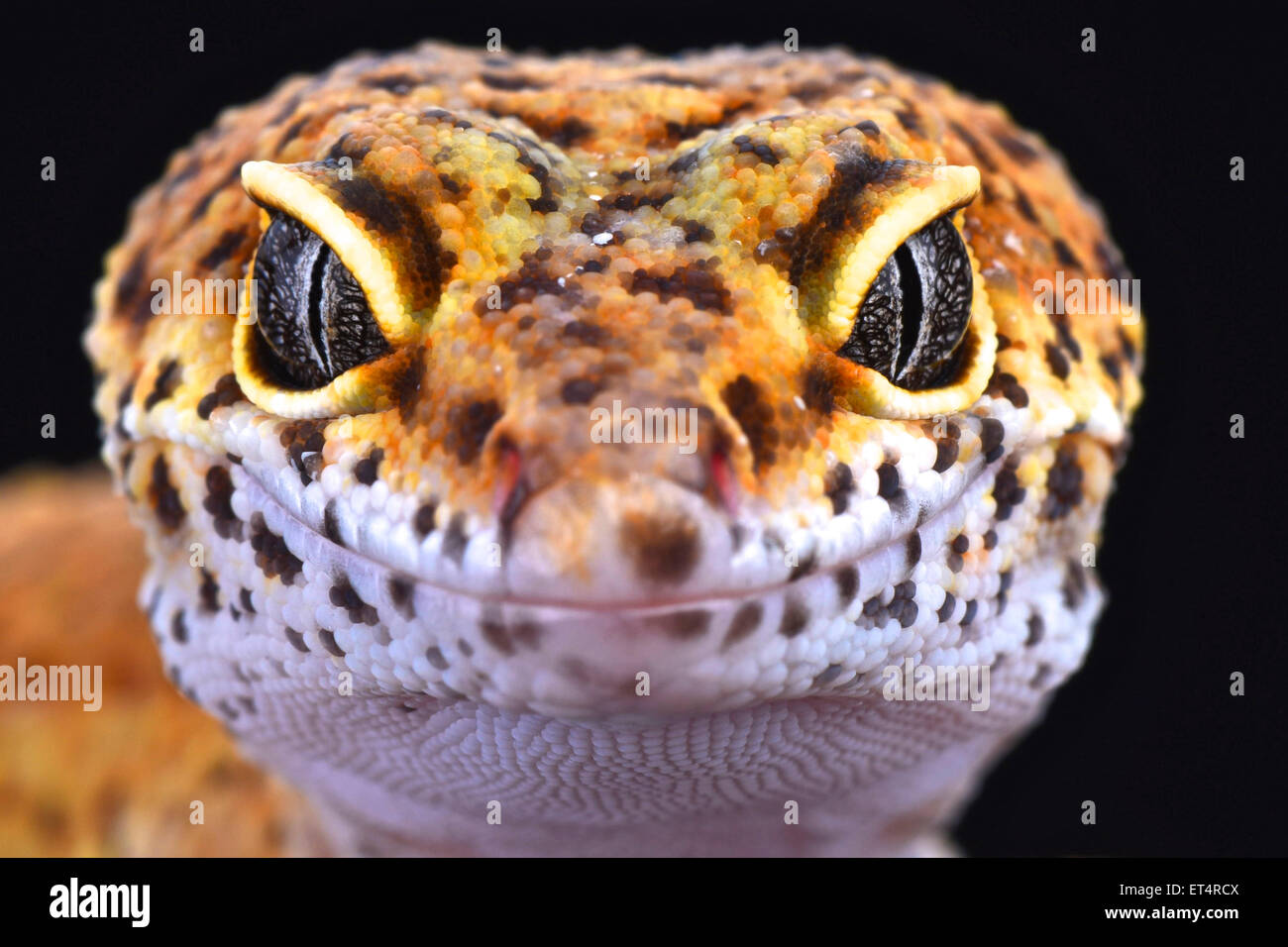Gecko leopardo (Eublepharis macularius) Foto de stock
