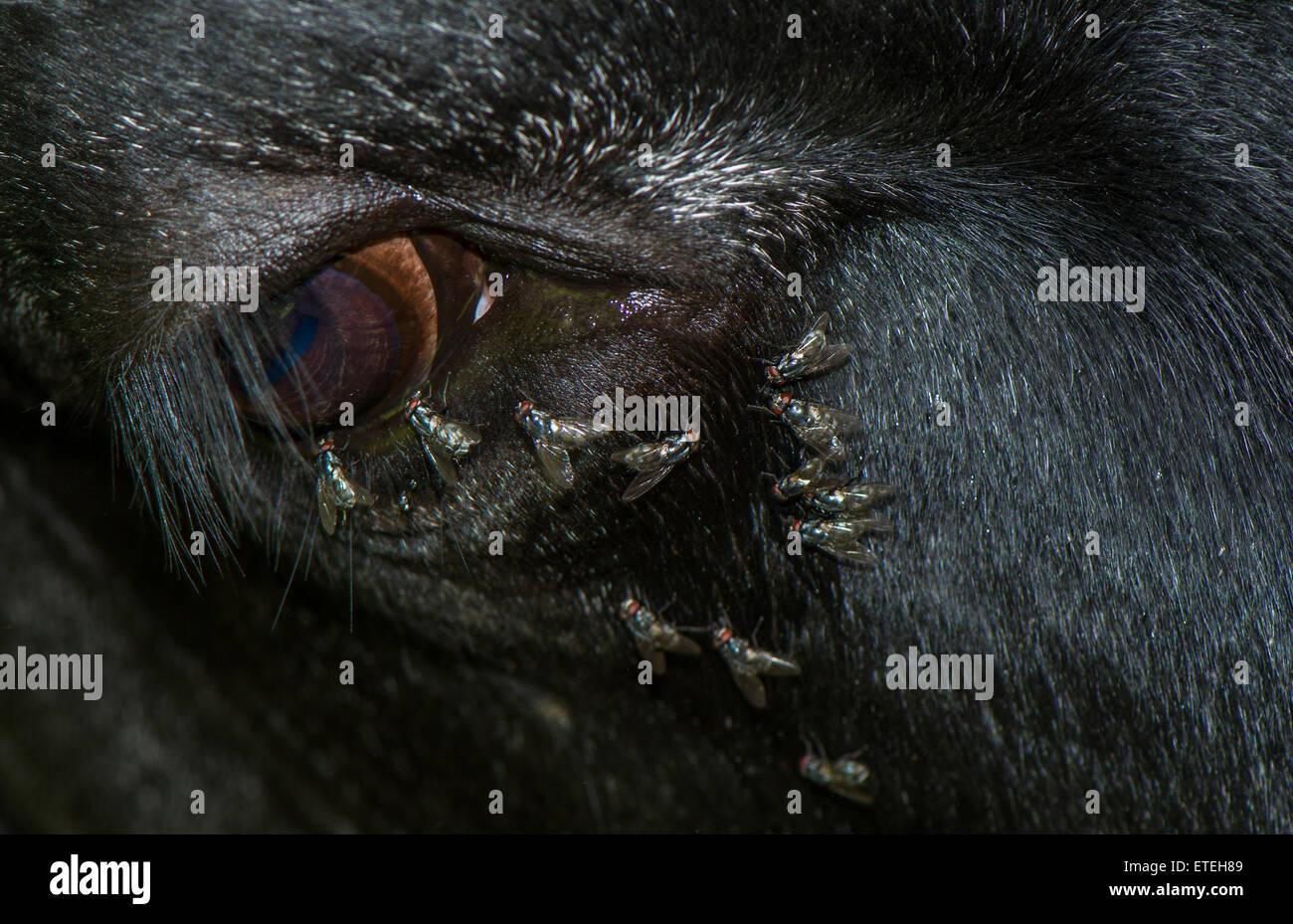 O Blowflies Bluebottle vuela alimentando la teardrops desde el ojo de una vaca. Foto de stock