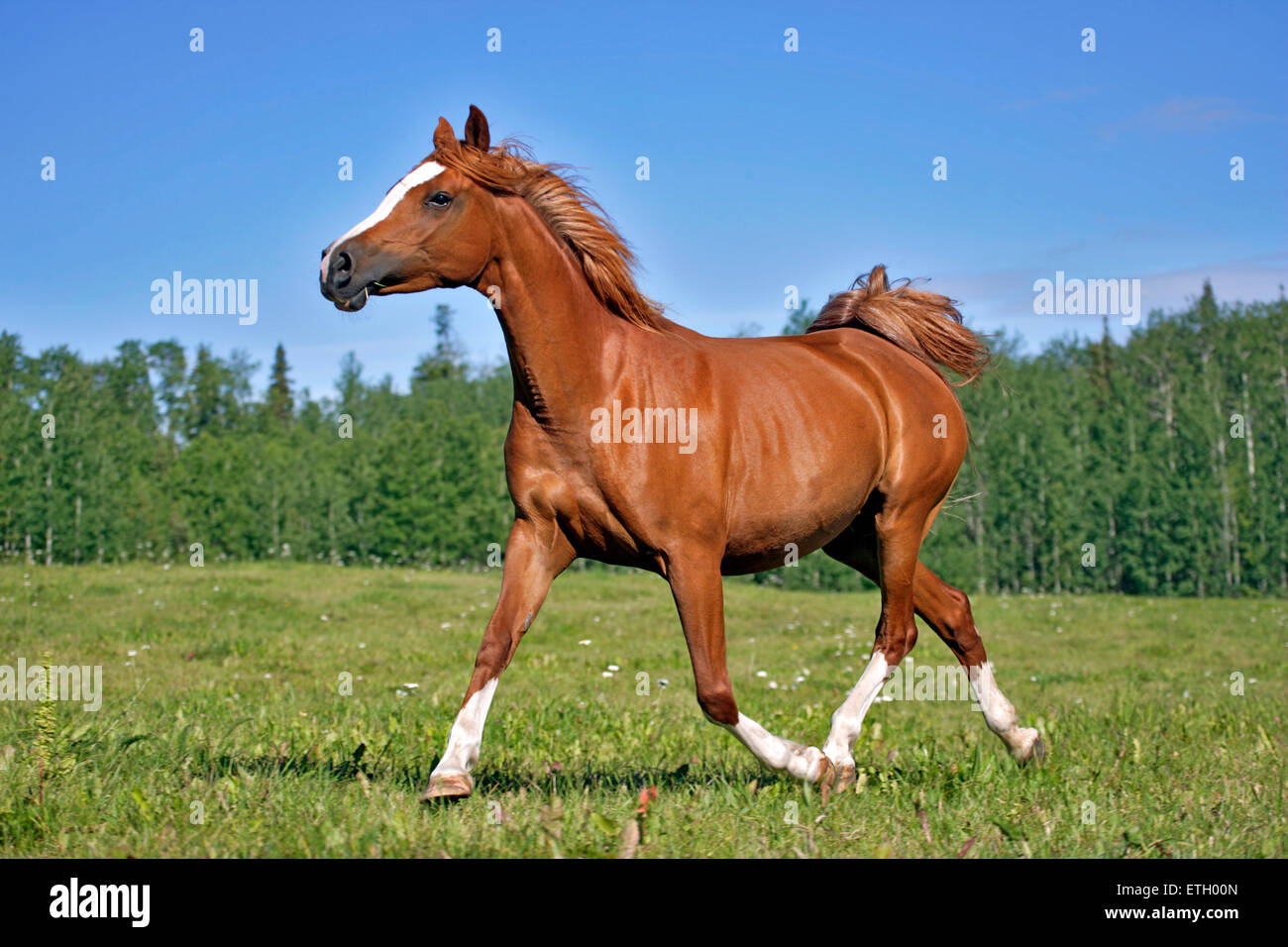 Castaño Arabian Mare trote en pradera Imagen De Stock
