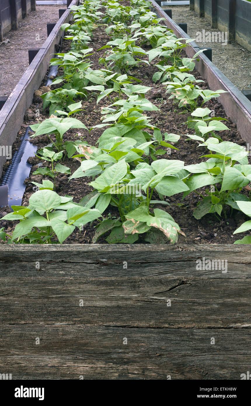 Cultivo De Hortalizas En Terrazas Imágenes De Stock