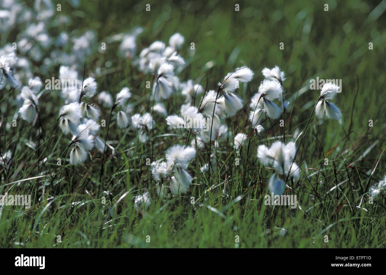 BEL, Bélgica, Eastbelgium, Hautes Fagnes, Hohes Venn, pasto de algodón. BEL, Belgien, Ostbelgien, Hohes Venn, Baumwollgras. Foto de stock