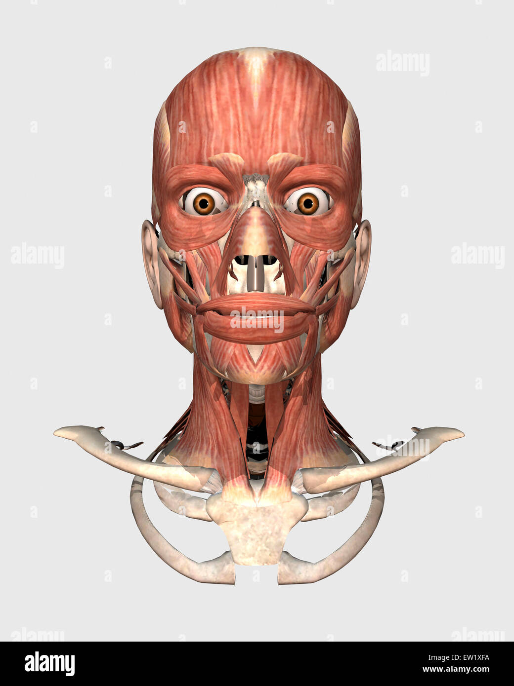 Cabeza humana mostrando los huesos y músculos. Imagen De Stock