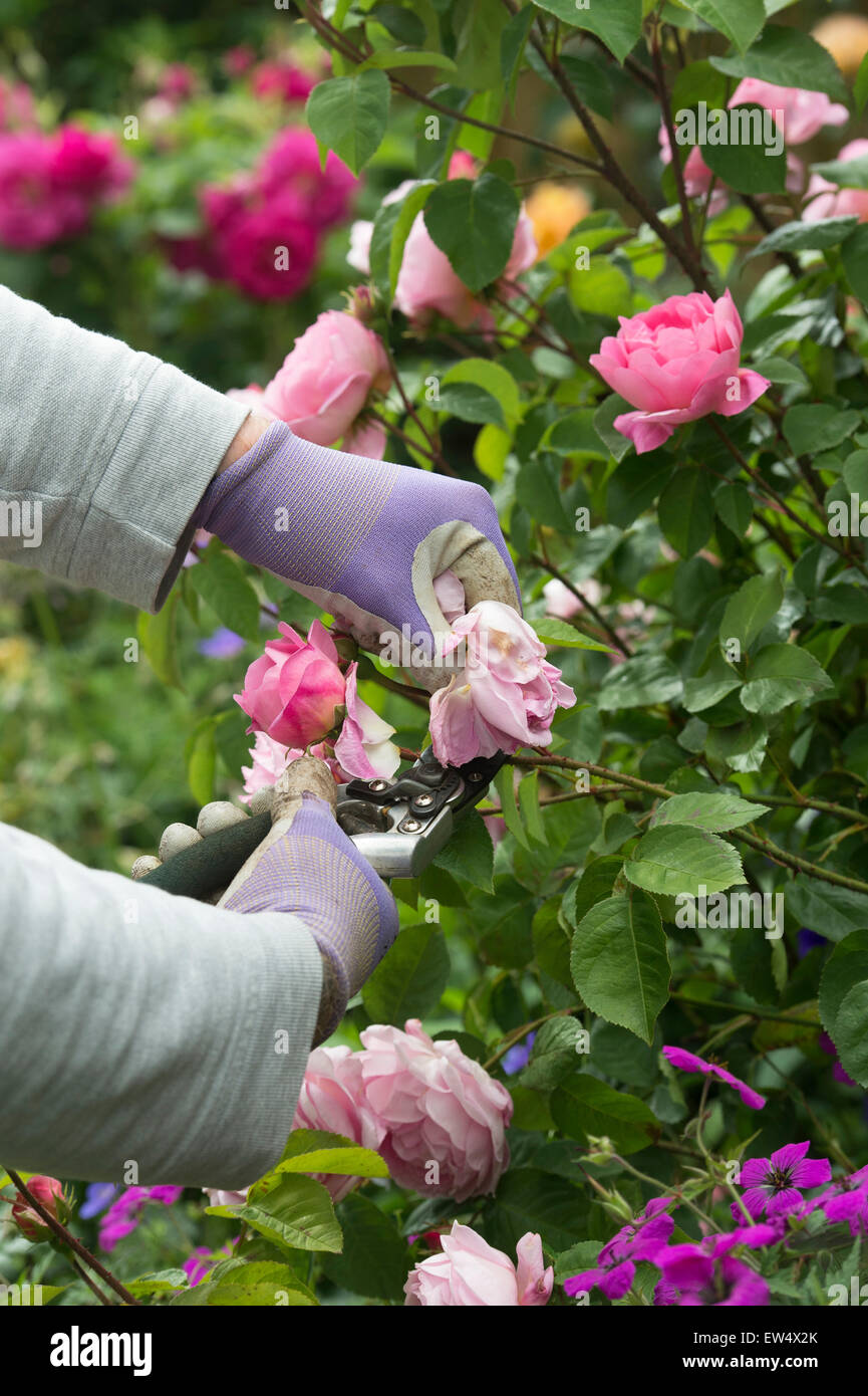 Llevar guantes de jardinería jardinero devolviendo sin carga Rosa Gertrude Jekyll subió con secateurs Imagen De Stock