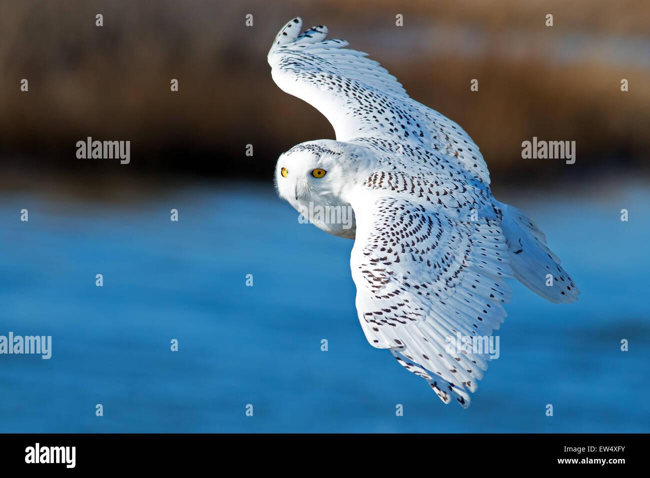 Snowy Owl en vuelo Imagen De Stock