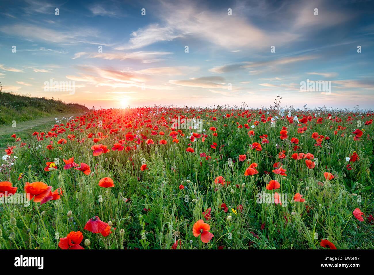 Un campo de flores silvestres y amapolas rojas brillantes en Crantock cerca de Newquay en Cornualles Imagen De Stock
