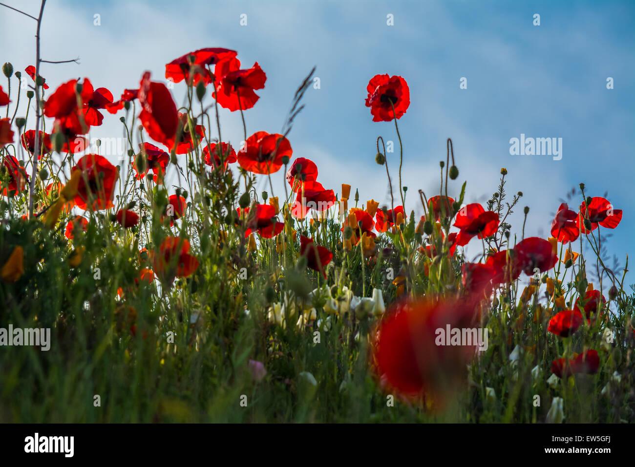 Amapolas y Sky Imagen De Stock
