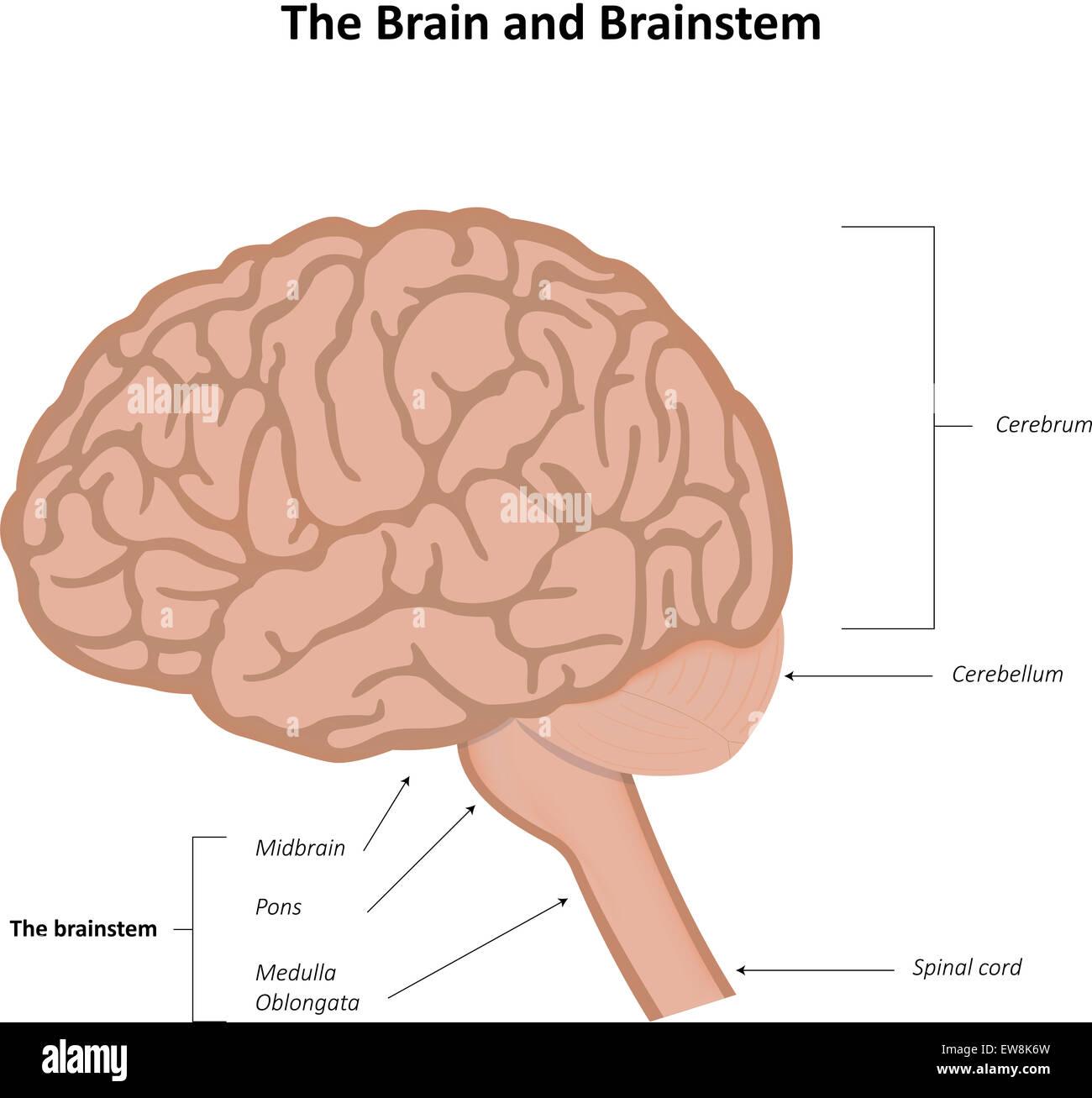 El cerebro y el tronco encefálico Imagen De Stock