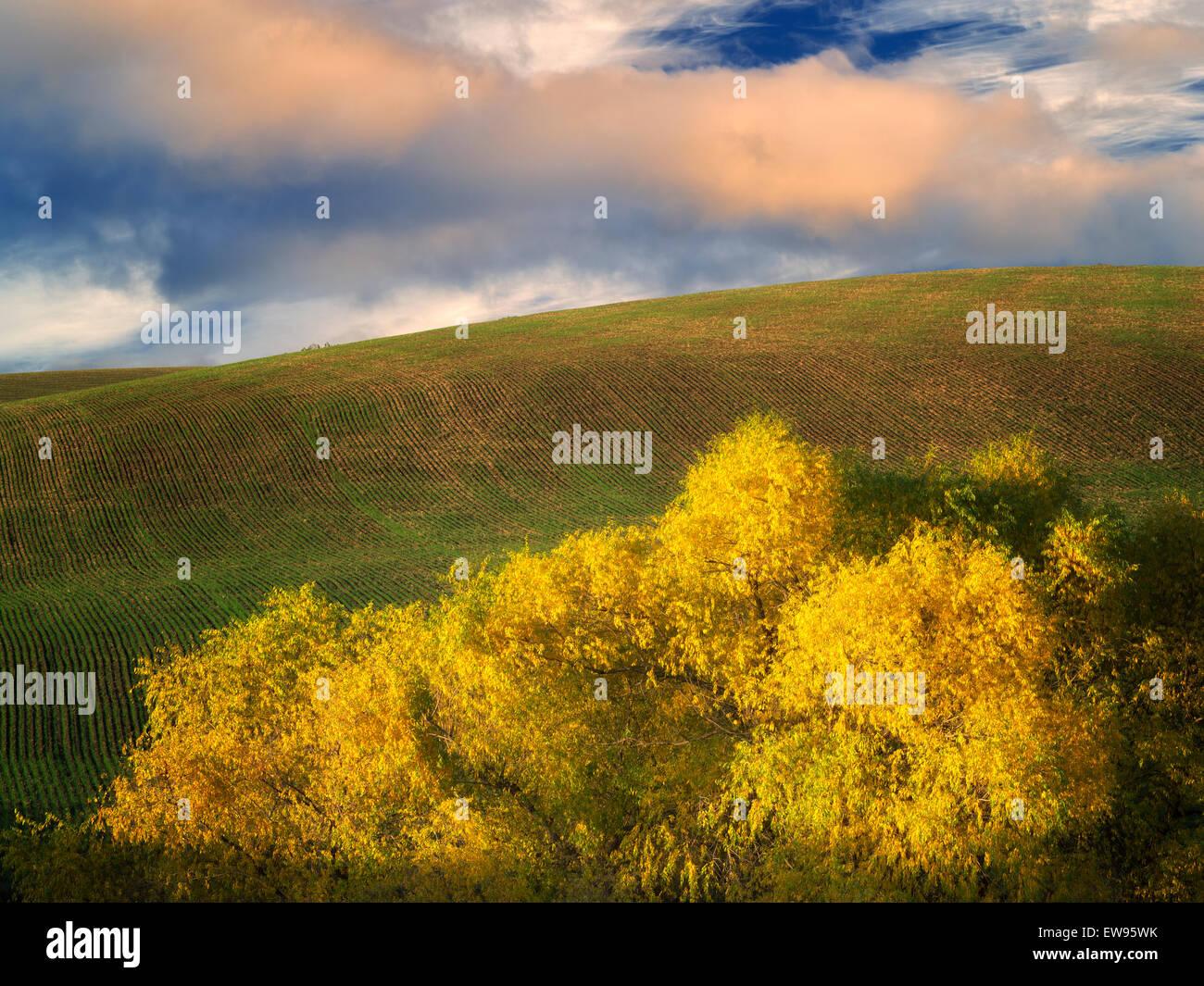 Caída sauce coloreadas. Cerca de la garganta del río Columbia, Oregon Imagen De Stock