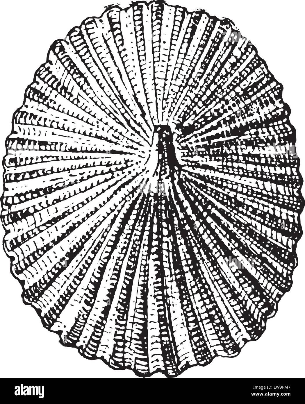 Percebe o Lepas sp., vintage ilustración grabada. Diccionario de las palabras y las cosas - Larive y Fleury - 1895 Ilustración del Vector