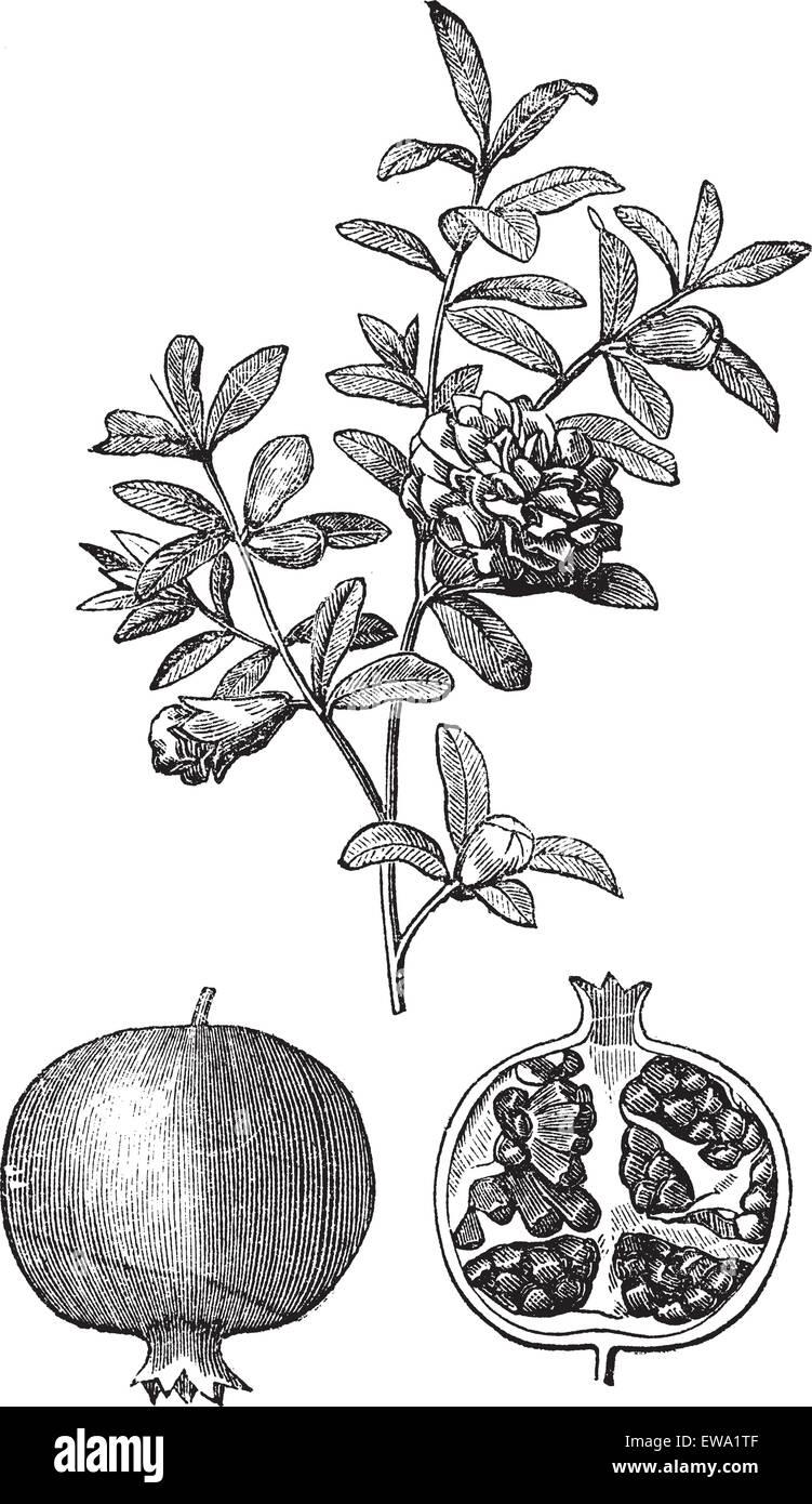 Doble Granada Flores Y Frutas Vintage Grabado Antigua Ilustracion