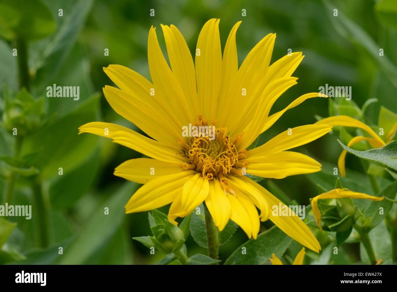 Planta Brújula Foto & Imagen De Stock: 84429182