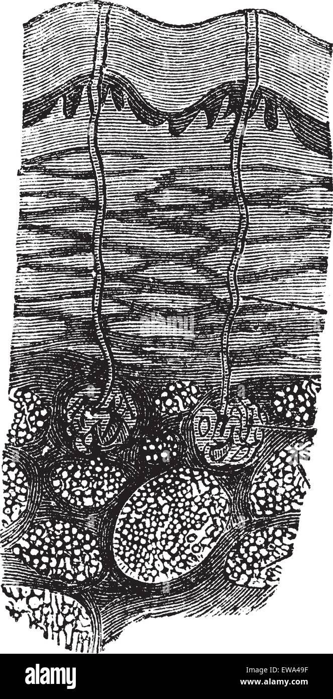La transpiración, vintage ilustración grabada. Trousset encyclopedia (1886 - 1891). Imagen De Stock