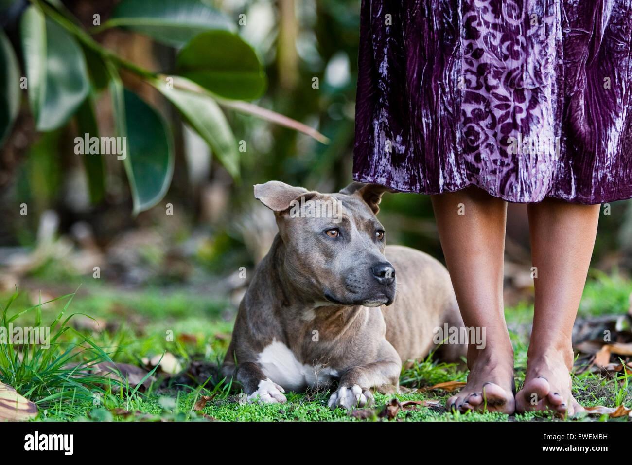 Atigrado marrón Pitbull tendido en la hierba en los pies descalzos de mujer vestidos de púrpura Foto de stock