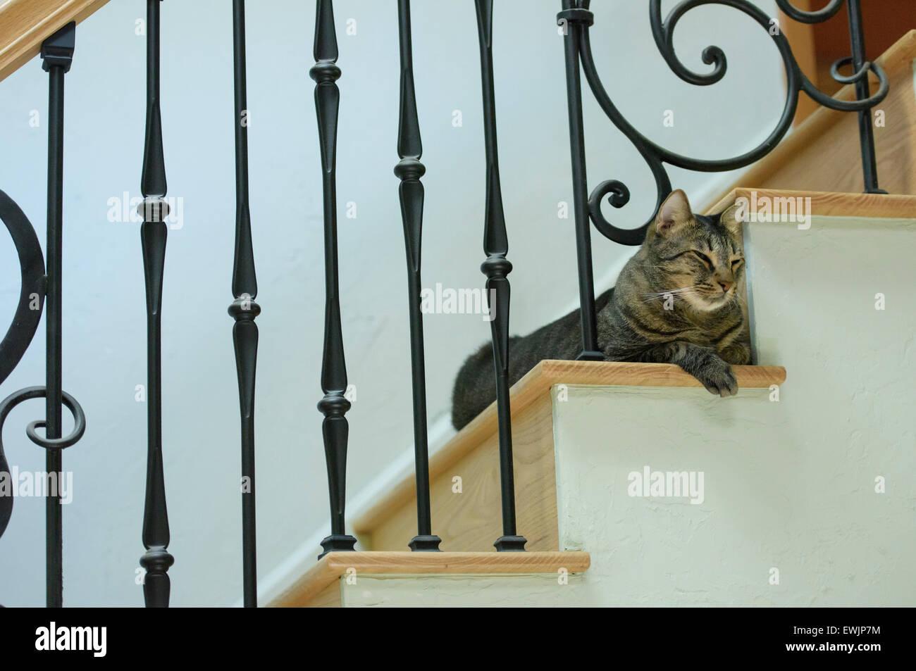 Atigrado gris interno gato mascota macho Imagen De Stock