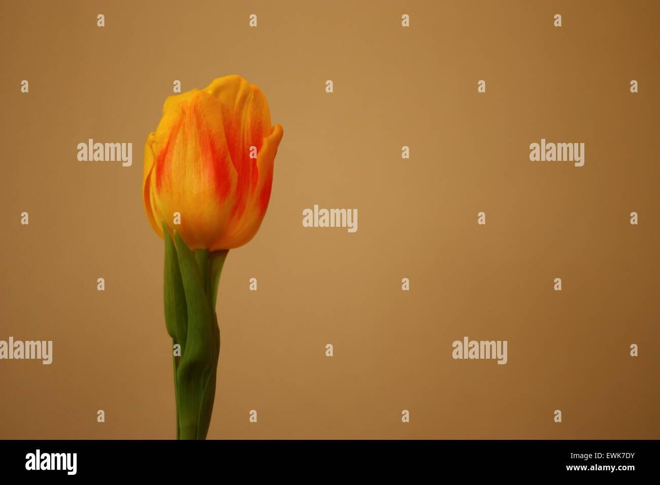 Tulipán amarillo aislados, tulipa, Liliaceae. Foto de stock