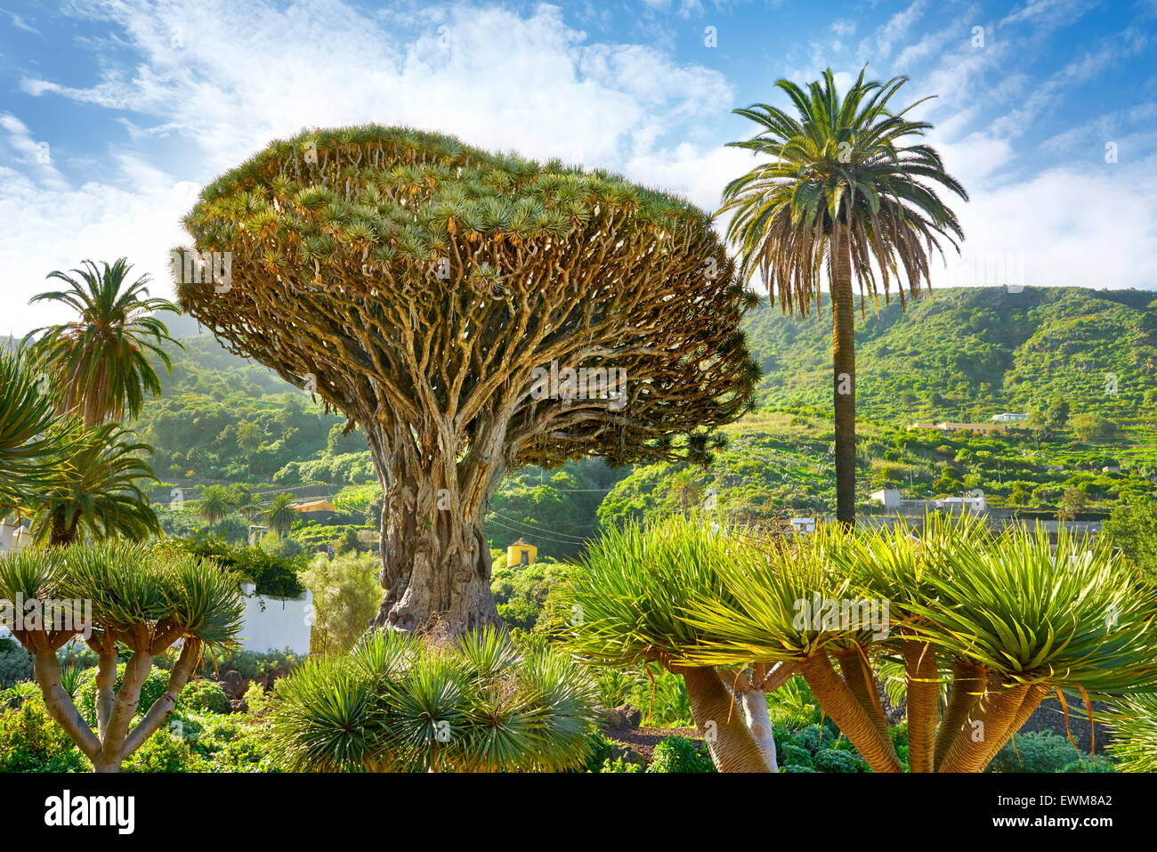 Drago, Dracaena draco, La Orotava, Tenerife, Islas Canarias, España Imagen De Stock
