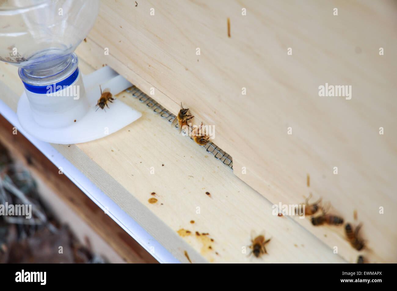 Las abejas en la colmena con alimentador de entrada Imagen De Stock