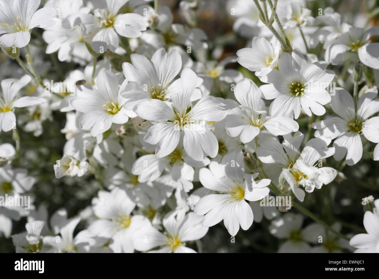 Flores Blancas Silvestres En Flor La Nieve En Verano Cerastium