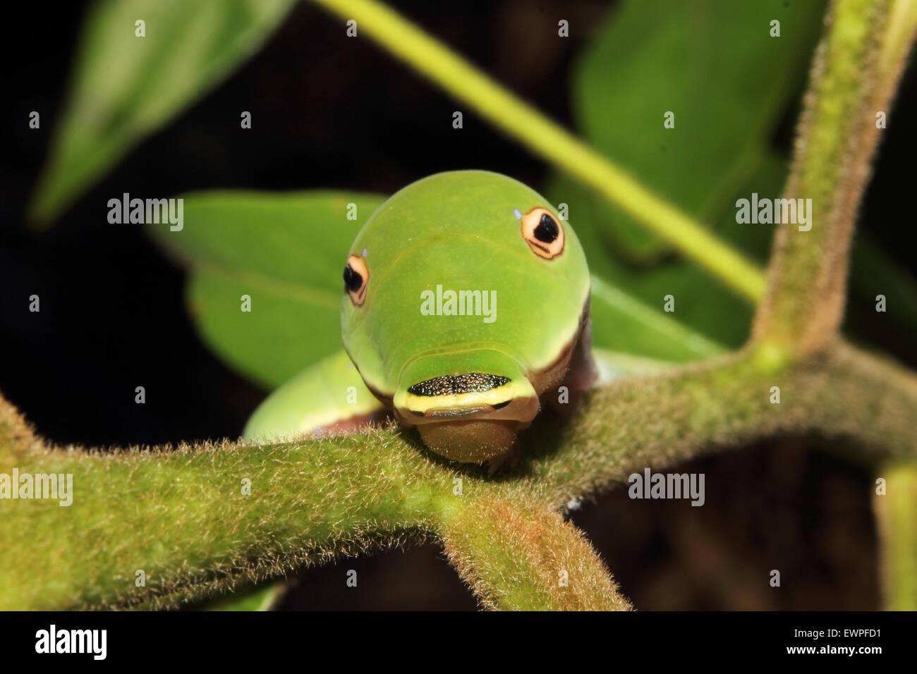 Una especie Spicebush caterpillar rastrea a lo largo de una hoja. Foto de stock