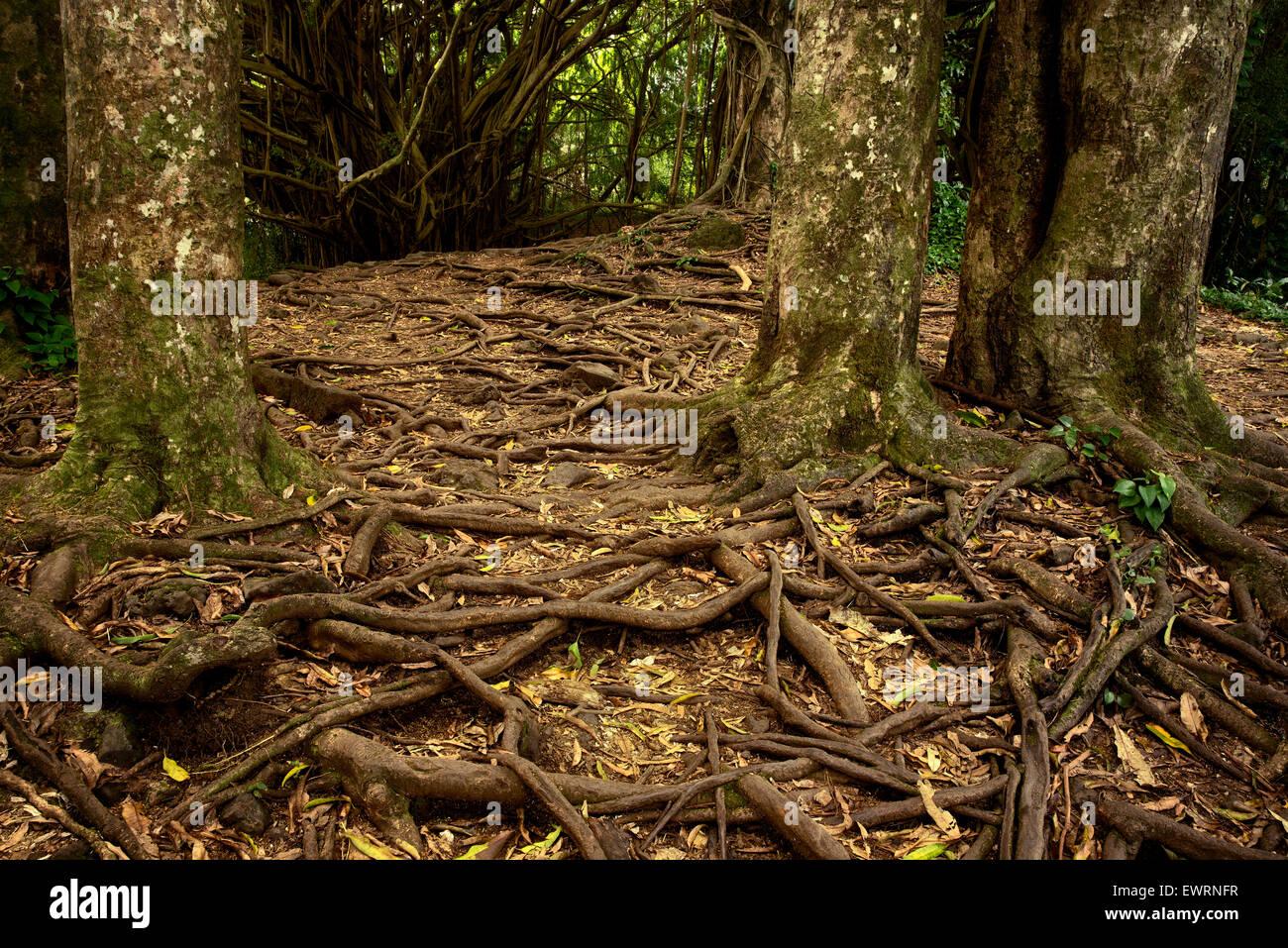 Ruta y raíces de árboles en el Rainbow Falls. Hawai, la Isla Grande Foto de stock