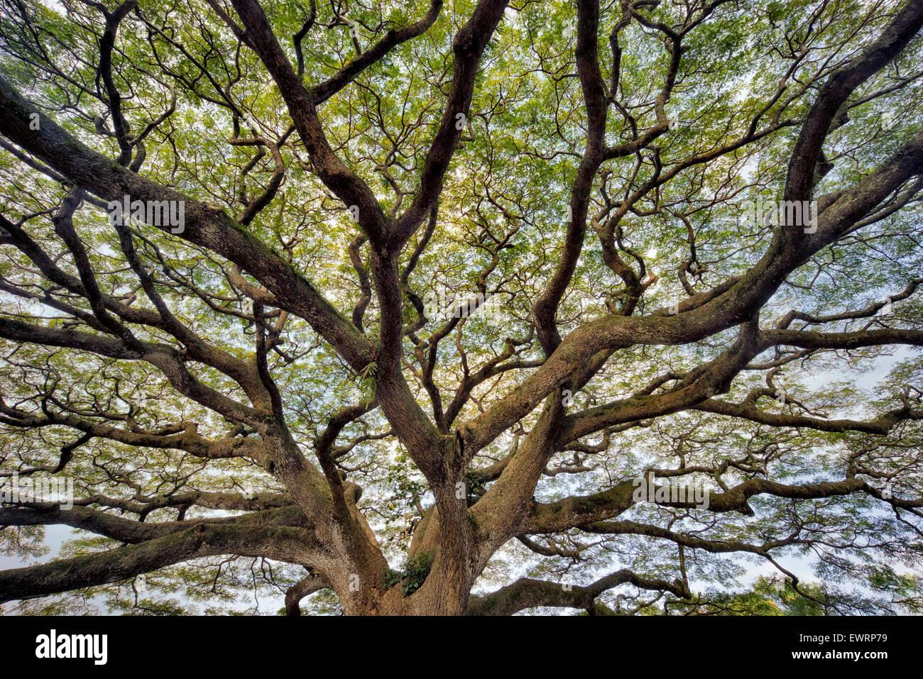 Gran árbol de ramificación salvajemente. Hawai, la Isla Grande Imagen De Stock