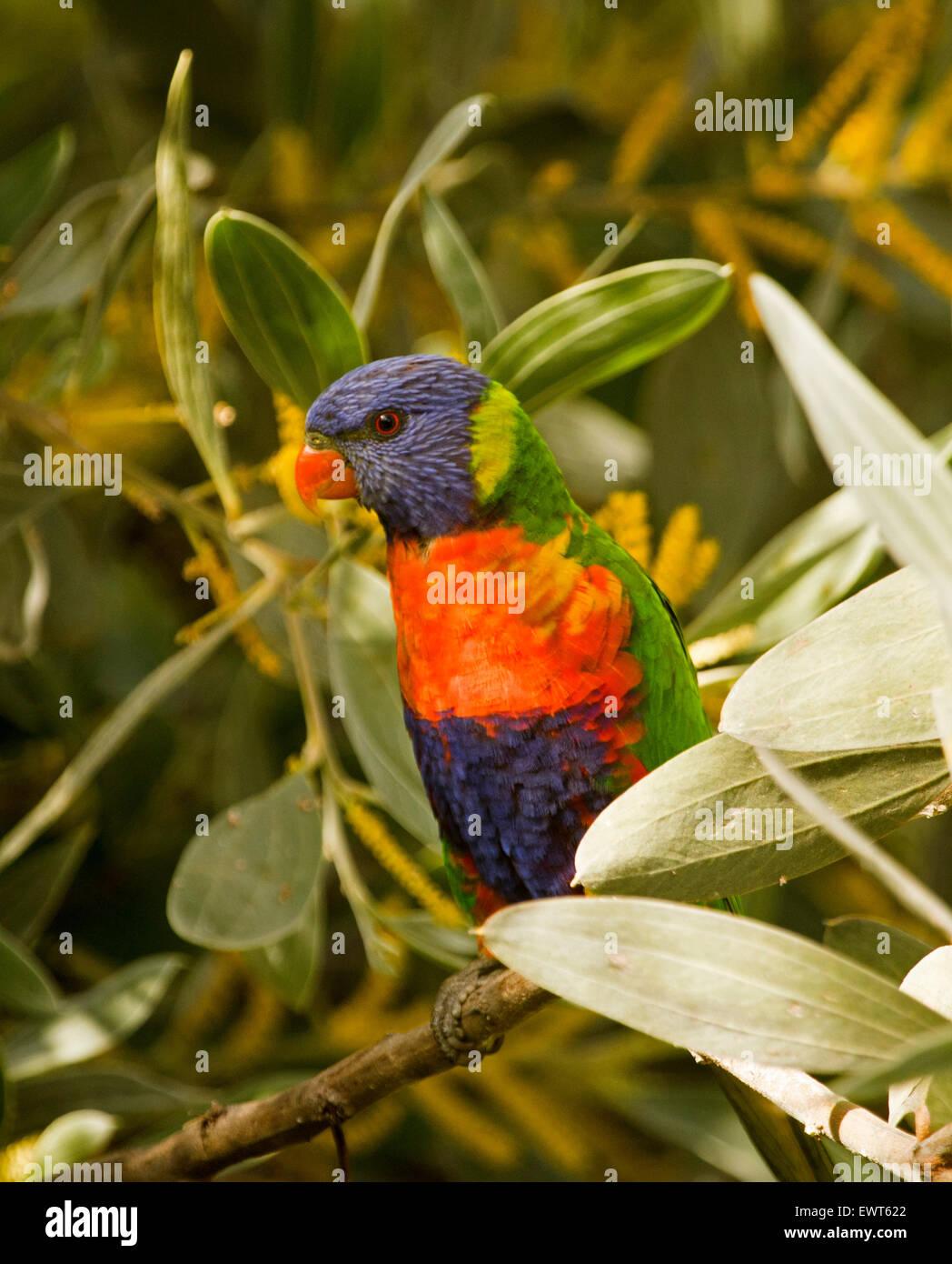 Rainbow lorikeet, Trichoglossus haematodus colorido loro australiano entre flores y follajes de árboles de acacia de terciopelo en jardín urbano Foto de stock