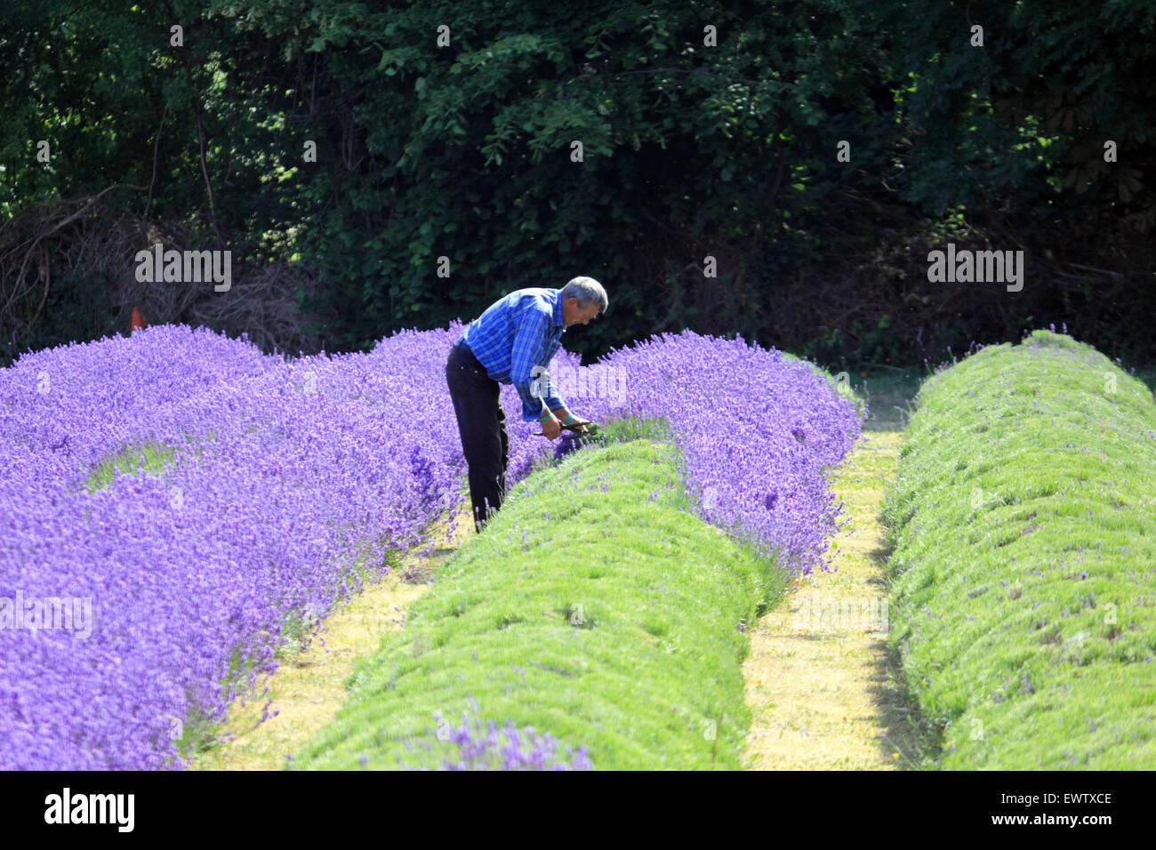 La recogida de la cosecha en Mayfield Lavanda, Croydon Lane, Banstead, Surrey, Reino Unido. Imagen De Stock