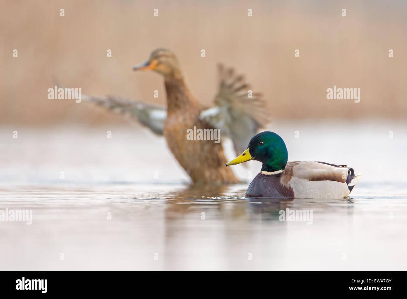 Pato salvaje o el ánade real (Anas platyrhynchos) Pareja, oriente el Elba, en el Estado federado de Sajonia Imagen De Stock