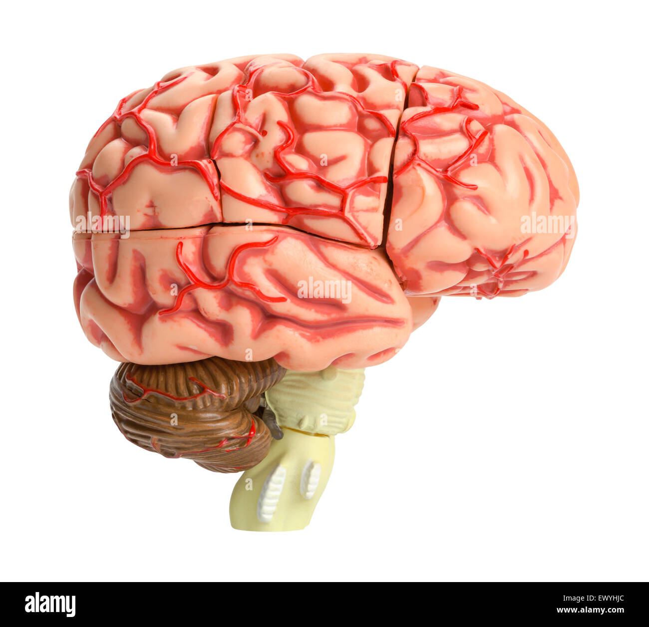 Vista lateral del modelo de cerebro humano aislado sobre fondo blanco. Imagen De Stock