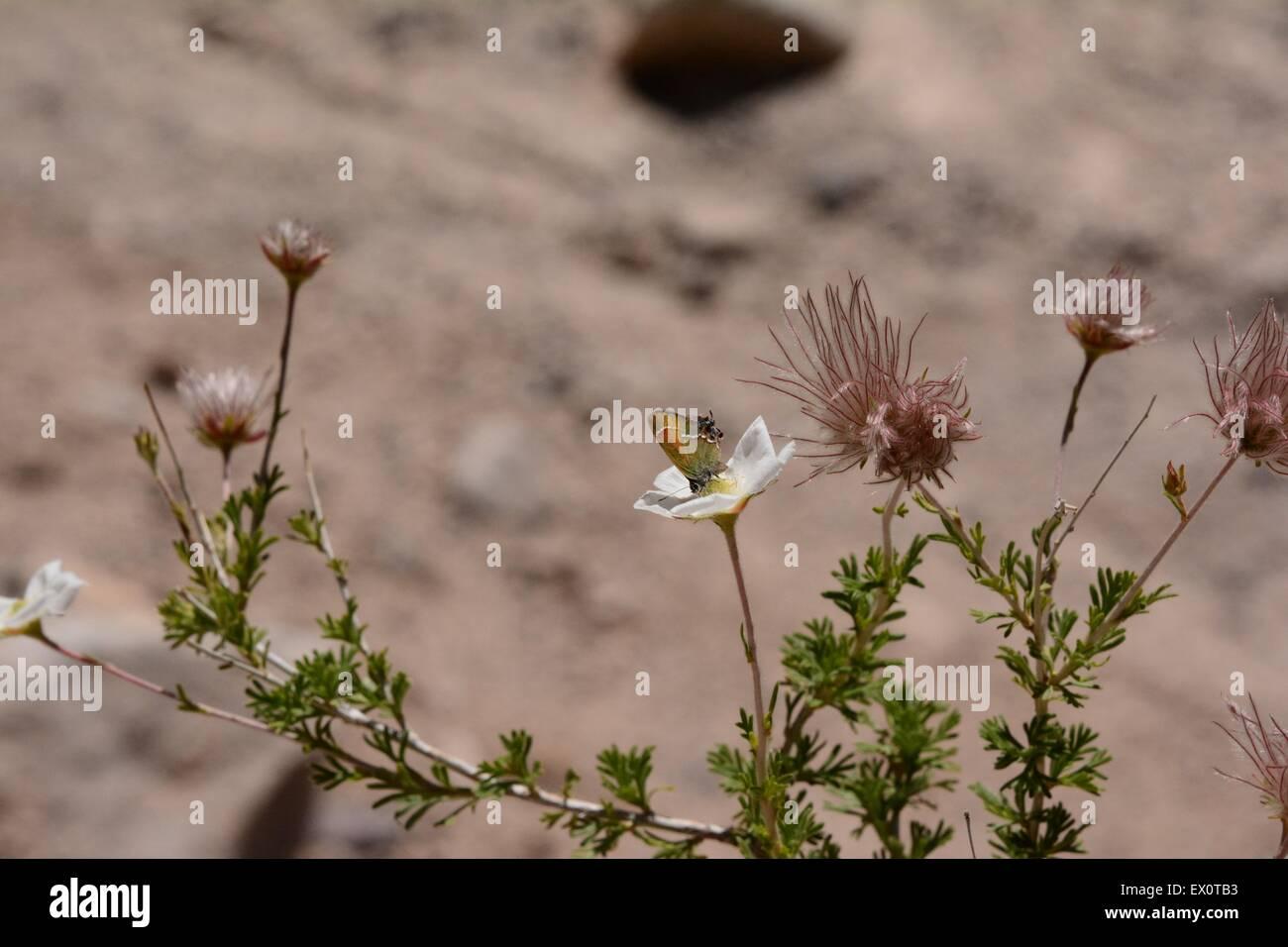 Juniper Eumaeini en Apache penacho Planta - Nuevo México - Estados Unidos Foto de stock