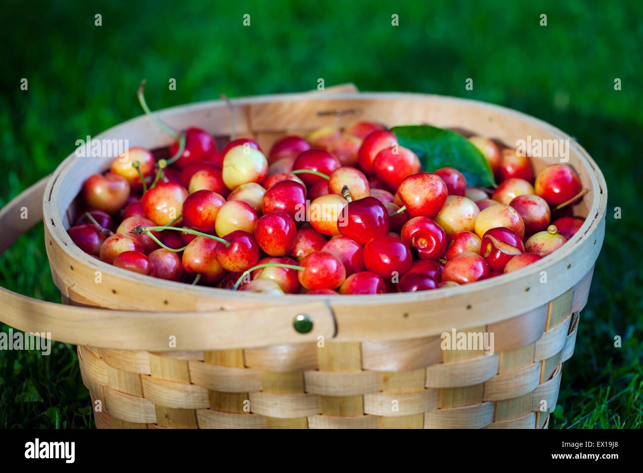 Canasta llena de cerezas dulces Imagen De Stock
