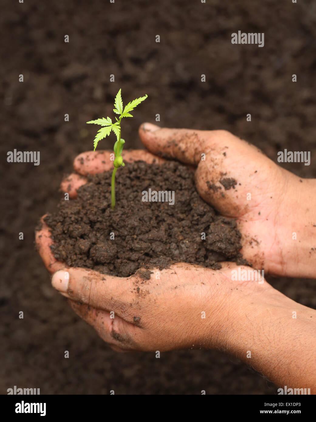 Oferta medicinal plántulas de neem durante la siembra en el suelo Imagen De Stock