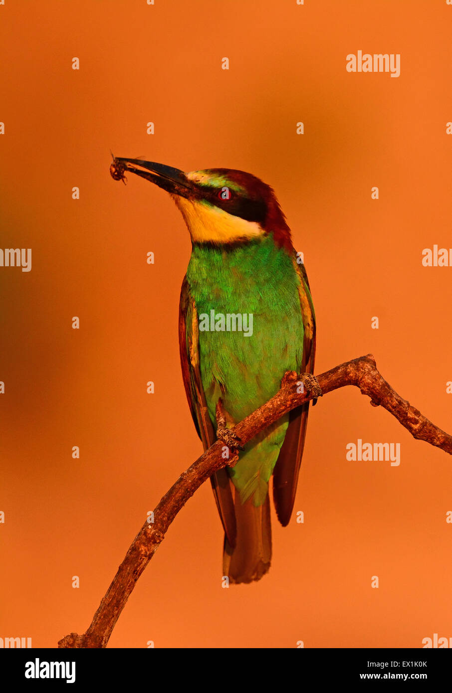 (Merops apiaster) Foto de stock