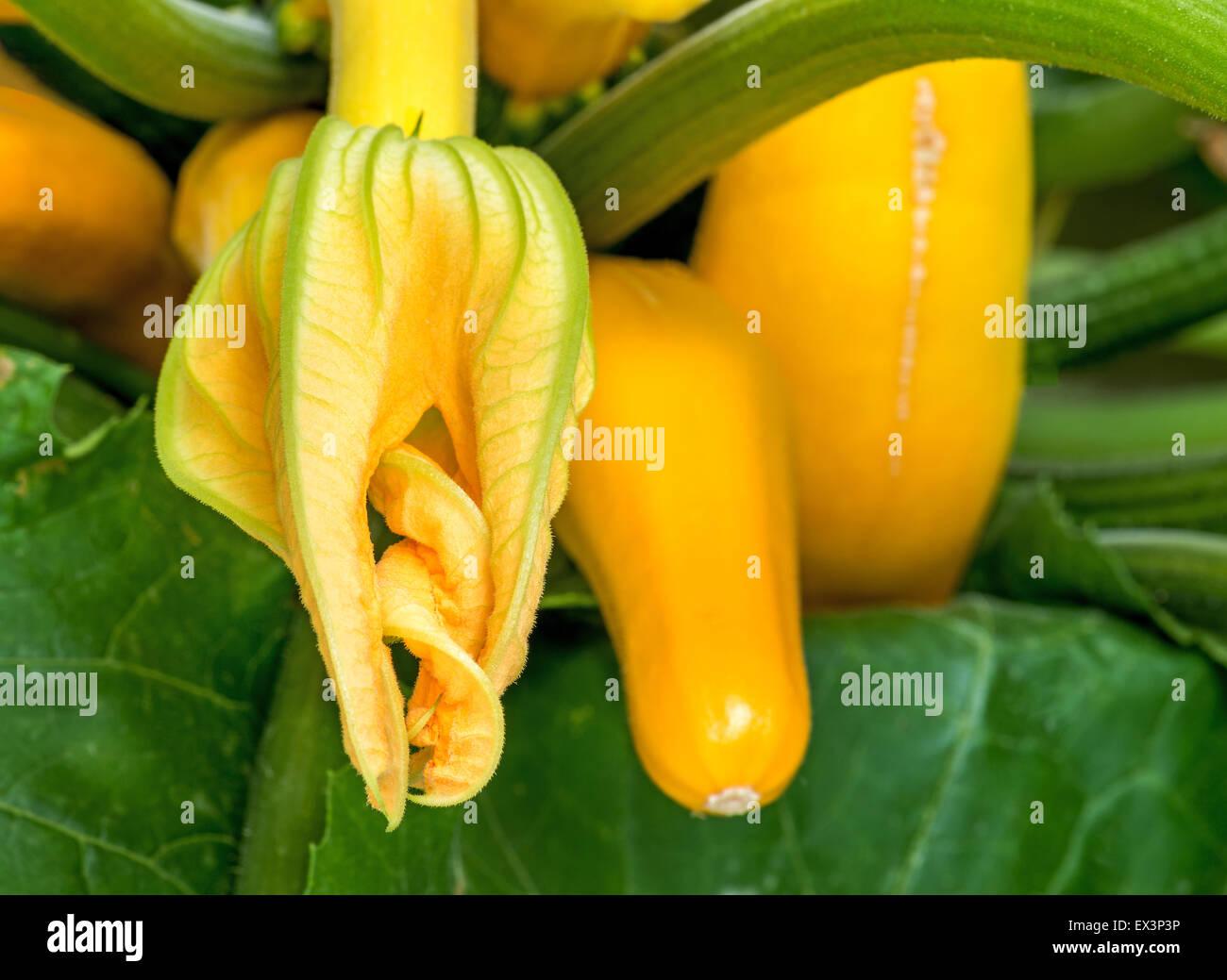 Calabacín calabaza amarilla flor y fruto verde primavera de verduras, hortalizas, plantas, delicadamente sabroso Imagen De Stock