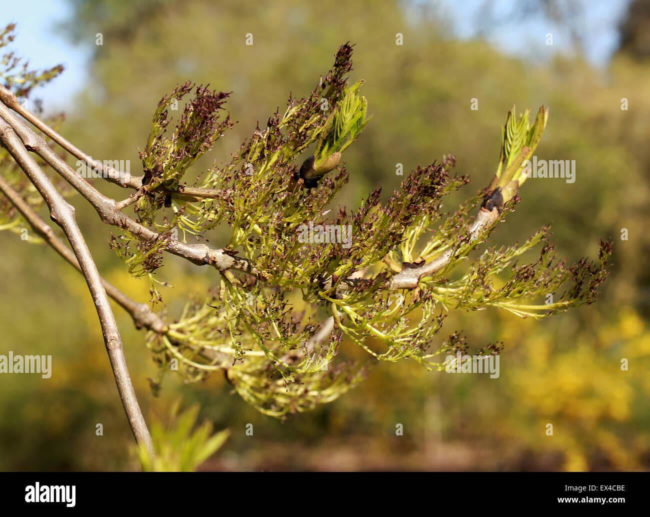 Los brotes y las flores del Wentworth llorando fresnos, Fraxinus exelsior Wentworthii 'Pendula', Oleaceae. Imagen De Stock