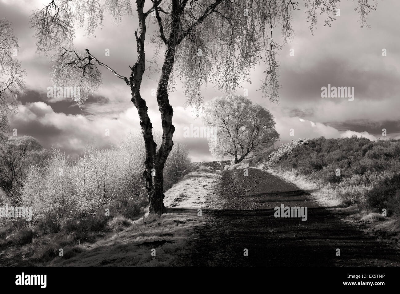 Fotografía de paisaje en blanco y negro de los abedules de plata a lo largo de la ruta del valle de Sherbrook Imagen De Stock