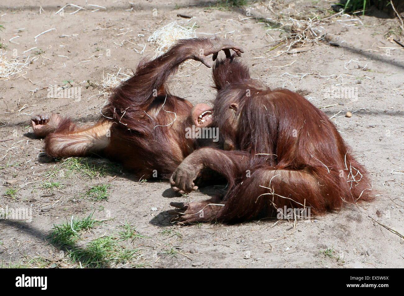 Dos jóvenes varones Bornean orangutanes (Pongo pygmaeus) luchando entre sí Foto de stock