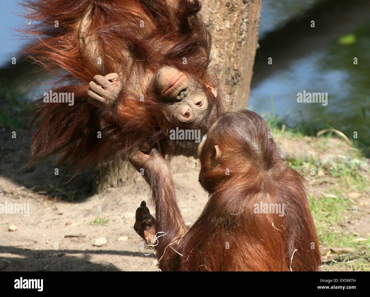 Macho joven Bornean orangutanes (Pongo pygmaeus) jugar con los demás y lucha libre Foto de stock
