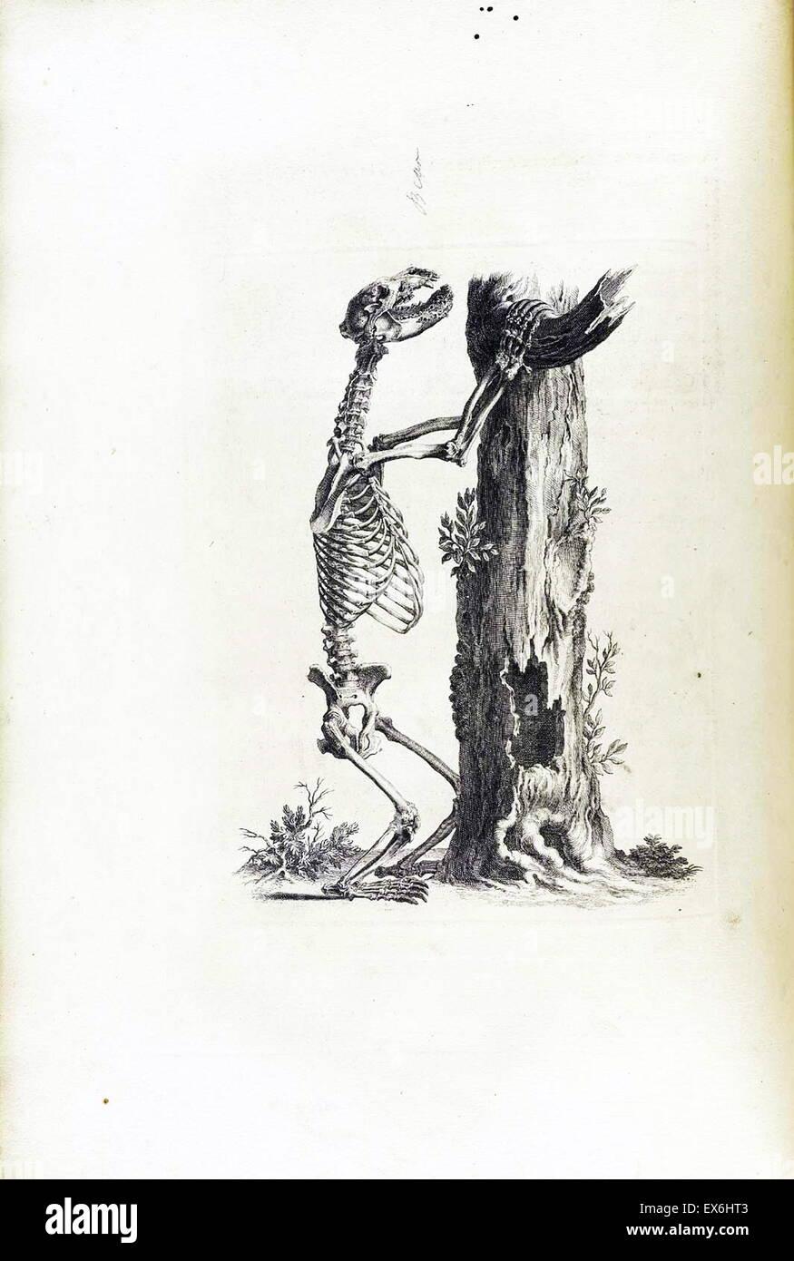 Dibujo anatómico de un oso por William Cheselden en Osteographia, o ...