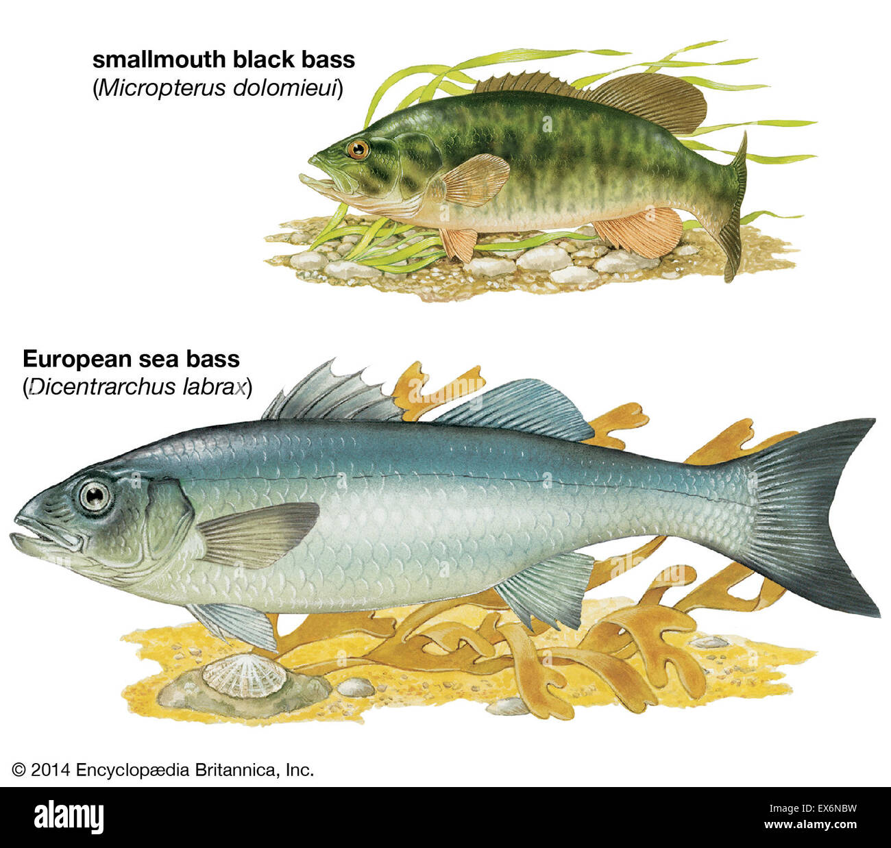 Illustrations Animals Fishes Imágenes De Stock & Illustrations ...
