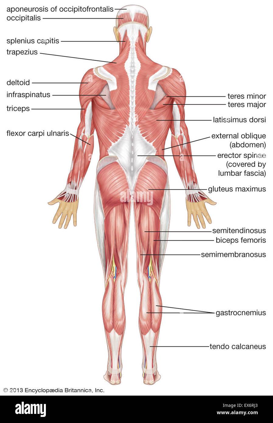 Vista posterior del sistema muscular humano Foto & Imagen De Stock ...